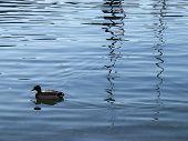a wild duck swimming in maggiore lake poster