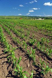 Growing Corn For Ethanol