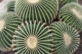 cactus large and round in a group