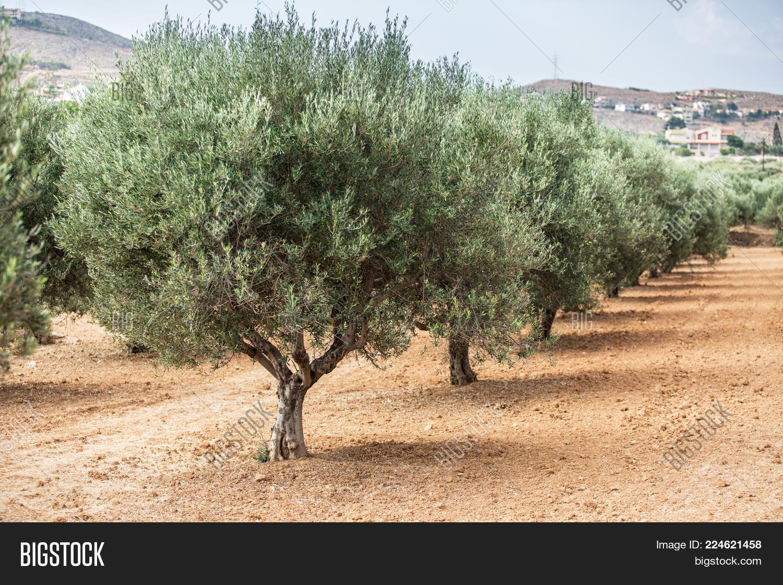 Olive trees garden PowerPoint Template - Olive trees garden ...