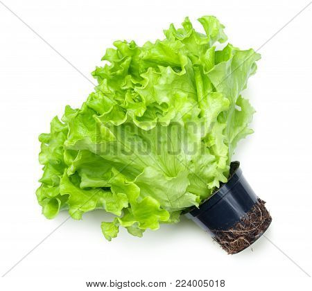 Lettuce in pot isolated on white background. Batavia salad. Top view