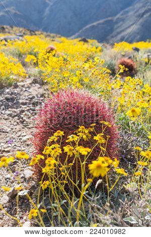 California Brittlebush Surround Barrel Cactus during super bloom