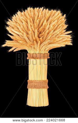 sheaf of ripe wheat, closeup on a dark background