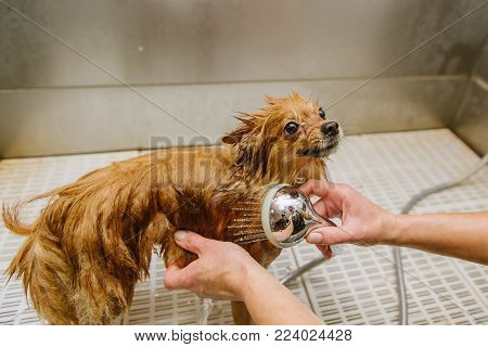 grooming dogs Spitz Pomeranian in the cabin. Professional care for the dog.
