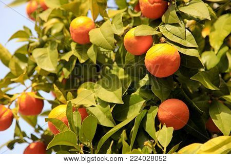 Branches with the orange fruits of the tangerine trees. Ripe tangerine fruits on the tree, selective focus