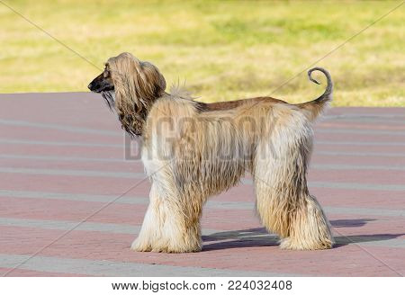 Afghan Hound white profile. Afghan Hound white is in the park.