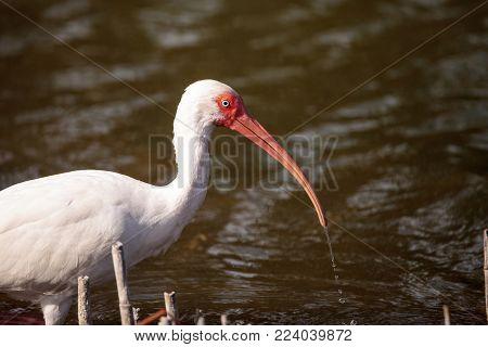 American White Ibis Eudocimus Albus Forages For Food