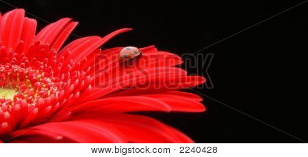 Gerbera_Bug