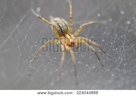 American Grass spider (Agelenopsis) in his web