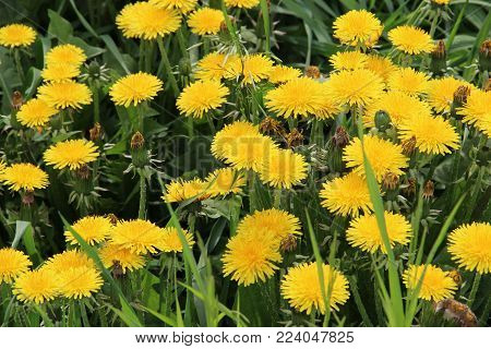 Green meadow with yellow dandelions / Summer landscape with yellow dandelions