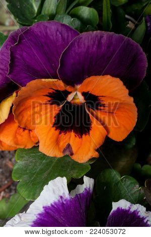 Beautiful pansies are growing on a green meadow. Live nature. Summer morning.