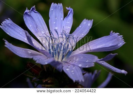 Beautiful chicory flower is growing on a green meadow. Live nature. After summer rain.
