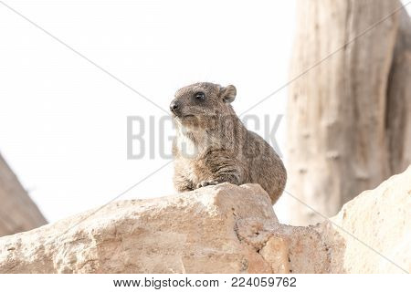 A Rock Hyrax, otherwise known as a Cape Hyrax and a Dassie, in South Africa