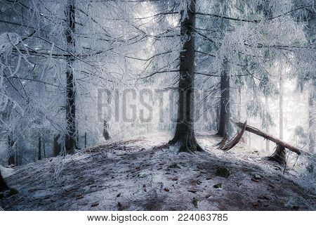 Winter snowy forest. Winter woodland nature landscape