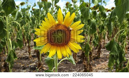 A bee on a yellow sunflower in a field