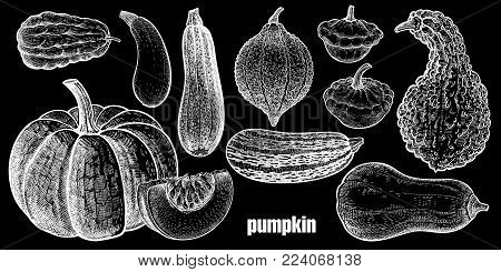 Pumpkin. Chayote, Squash, Zucchini, Hubbard Squash, Bush Pumpkin, Crookneck, Butternut. Hand Drawing