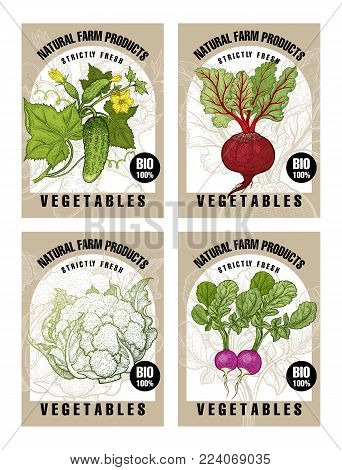 Cucumbers, beet root, cabbage cauliflower, radish. Labels with vegetables. Set templates price tags for shops, markets of organic food. Vector illustration art. Vintage. Hand drawing of nature objects