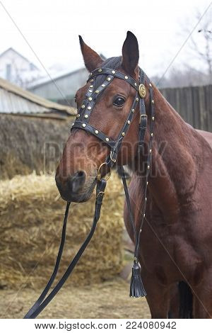 Harnessed Horse. Horse Harness. Leather And Metal Products, Handmade.