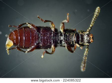 Sawtoothed grain beetle under microscope. The Microscopic World.