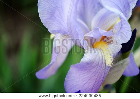 The Iris Flower Closeup Outdoors, Purple Iris Flower On Green Background