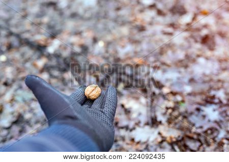Close up of adults hand in black protection gloves holding a walnut, feeding wild animals in a forest.