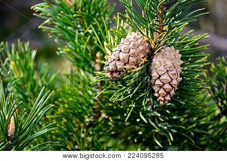 Detail of branch of a young pine tree. Macro closeup of a pine cone on a pine tree branch