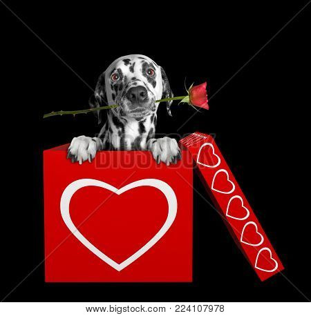 Dalmatian dog with rose sitting in valentines box. Isolated on black background