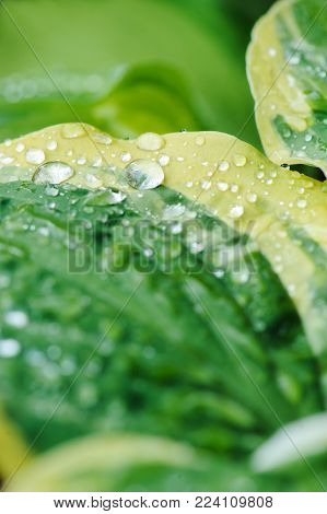 close up of hosta leaves with water drops. Selective focus.