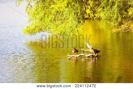 Female mallard duck bird animal on lake or river. Wildlife in natural environment.