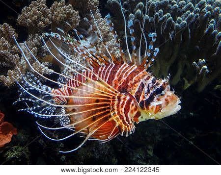 A red lion fish (Pterois volitans) in a salt water aquarium