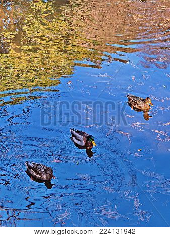 Get your ducks in a row. Concept for common business phrase .. get your ducks in a row. Three ducks swimming in a row with their reflections in a pond, along with with Monet like foliage reflections in the background. Primary focus on lead top right duck.