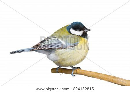 the titmouse isolated on a white background