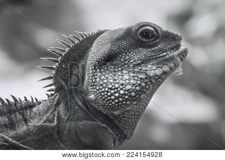 Animals and Wildlife, a close up image of an Iguana Lizard reptile in black and white