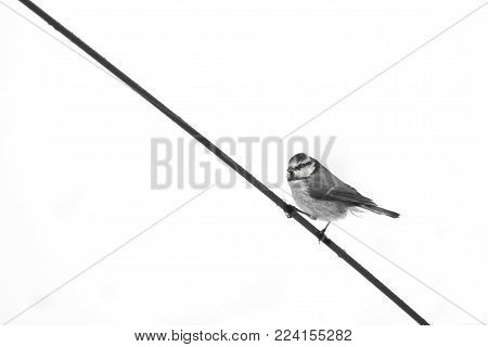 Wildlife and Birds, a blue tit garden bird perched on a metal rod in the snow, image in black and white
