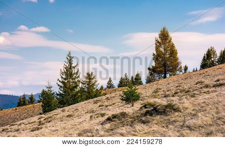 spruce forest on a slope with weathered grass. lovely nature scenery in springtime, some clouds on a blue sky
