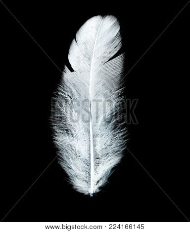 white feather on a black background . Photos in the studio