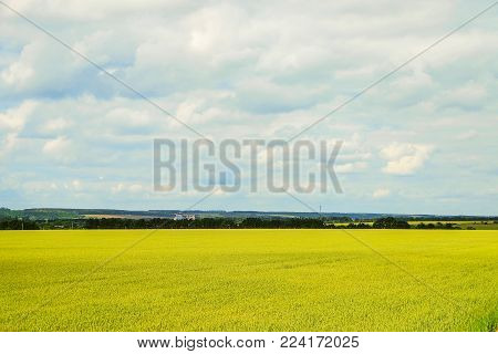 Countryside landscape with ripening wheat field under a cloudy sky. Cereal field. Natural background. Belgorod region, Russia.
