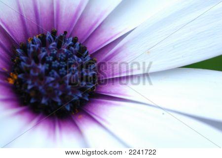 Violet On White