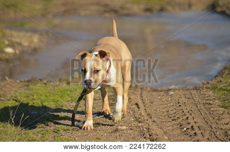 amstaff dog ,staffy pictured in nature,image of a