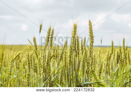 Greens of ripening wheat ears on horozon. Agricultural plantation background with limited depth of field. Close-up of cereal field.