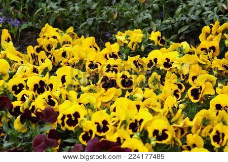 Yellow pansies in the garden. Flowers background pansy.