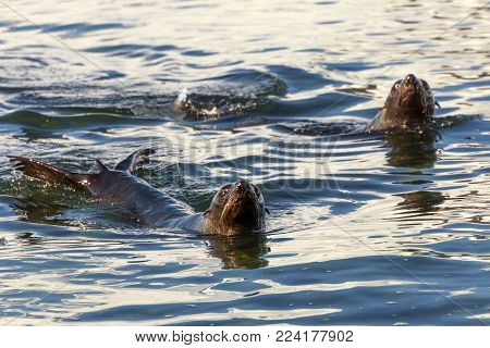Couple of antarctic fur seals swimming in cold sea waters at Half Moon Island, Antarctic