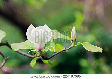 Abloom white flower of magnolia tree in summertime