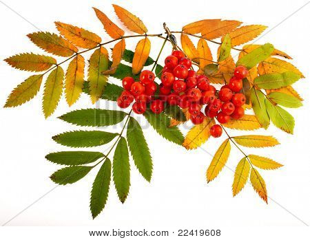 red rowan branch isolated on white