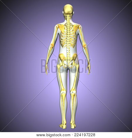 3d rendered Illustration of human skeleton back view
