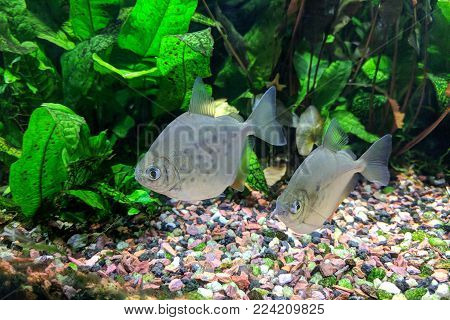 Pair of Silver Dollar fish (Metynnis lippincottianus) swimming in freshwater tropical densely planted aquarium