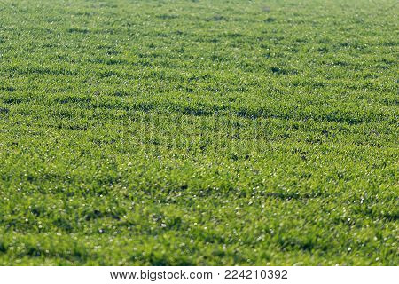 Green sprouts of wheat, Wheat Sprouts. Wheat Field