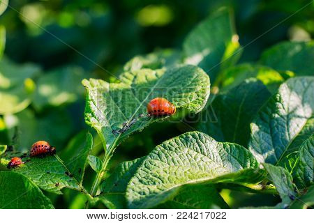 Larvae of the Colorado potato beetle on green leaves of potato