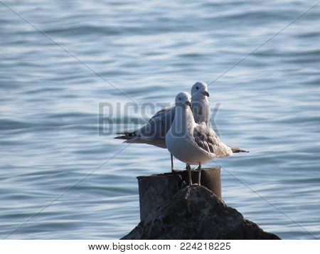 Two seagulls sitting on a post at Lake Erie.