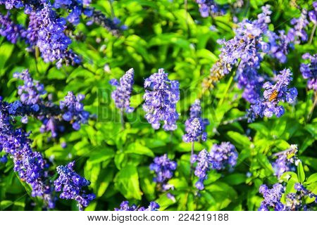 Blue salvia is a shrub flower native to Mexico and parts of the United States including Texas and Oklahoma. Blue salvia sometime called Mealy Cup Sage.